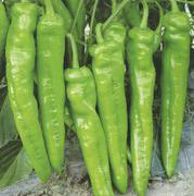 特宝龙羊角椒种子