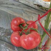 粉果番茄种子越冬早春早熟西红柿种子