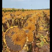 向日葵种子,矮杆389向日葵种子