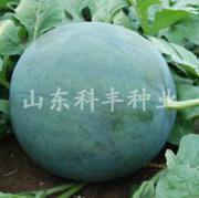 黑花无籽西瓜种子