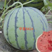 早蜜8424西瓜种子
