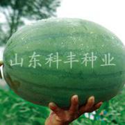 特大红沙龙西瓜种子