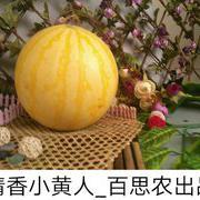 小黄人西瓜种子
