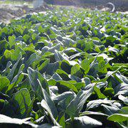 中科茂华蔬菜种子大叶厚叶菠菜种子荷兰绿宝越冬春秋栽培深绿色叶