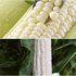 茂华甜加糯二号玉米种子杂交甜加糯玉米种子大棒型500克