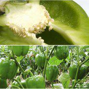 中科茂华金椒王甜椒种子方椒灯笼椒金椒王辣椒种子10克