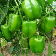中科茂华蔬菜种子金椒王505辣椒种子甜椒种子柿子椒灯笼椒高产