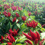 茂华牌批发蔬菜种子天樱八号朝天椒种子簇生辣椒种子基地专用