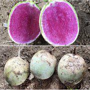 中科茂华蔬菜种子杂交满堂红萝卜种子心里美萝卜高品水果萝卜种籽