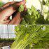 中科茂华蔬菜种子DOMEI多美西芹种子不空心芹菜种子亮度更高颜色黄绿色