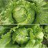中科茂华蔬菜种子结球生菜种子美湖玉湖球生菜种子耐热耐抽薹高品