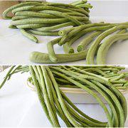 中科茂华神豇一号豇豆种子翠绿色长豆角条长耐老化长1米