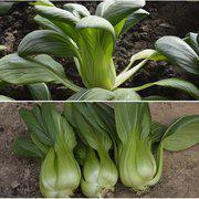 中科茂华蔬菜种子绿冠青梗菜种子深绿上海青抗热束腰高产75克/盒