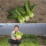 中科茂华厂家直销蔬菜种子 华美青梗菜种子束腰油菜耐湿耐热上海青