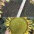 茂华牌蔬菜种子中科油霸DW776矮大头油葵种子耐旱高油200克
