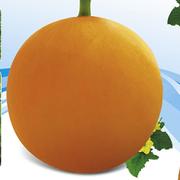四季红三号甜瓜种子