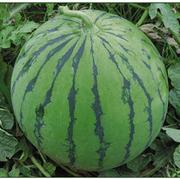 西特乐西瓜种子