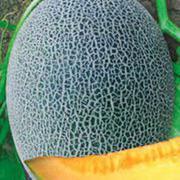 金钻17网纹甜瓜种子