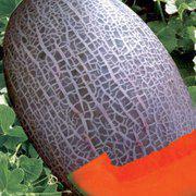 圣典网纹甜瓜种子 橙肉哈密瓜种子