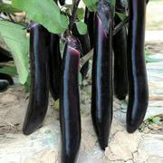 大黑长茄种子 韩国进口
