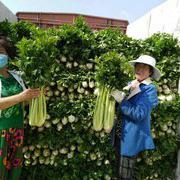 文图拉芹菜种子 进口芹菜种子
