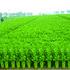 美国 华盛顿西芹种子 美国进口芹菜种子