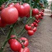 荷兰  欧冠 粉果番茄种子 耐低温弱光