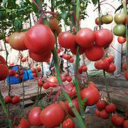 圣帝 高产抗病番茄种子  春秋越冬西红柿