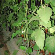 东方黑丽 长茄种子