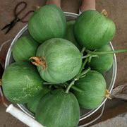 九青蜜甜瓜种子