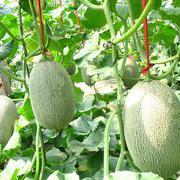 金钻25网纹甜瓜种子