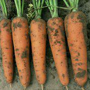 日本 红辉六寸 胡萝卜种子