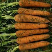 千聖 6寸  韩国进口胡萝卜种子