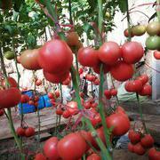 中华粉王 番茄种子