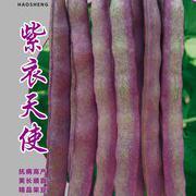 紫衣天使架豆种子豆角种子
