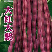 大红大紫架豆种子豆角种子