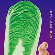 秋旺大白菜