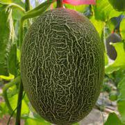 畅享蜜25号厚皮西州蜜甜瓜种子