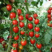 初夏F1小红番茄樱桃番茄种子