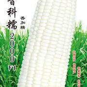 晋京科糯2000糯玉米种子