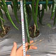 深绿色中早熟长线辣椒种子 海丰1058线椒种子