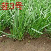 深休眠型韭菜种子 海韭3号韭菜种子