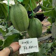 禾育西周蜜25甜瓜种子