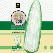 雪玉605白糯玉米种子