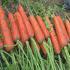 朝阳红F杂交胡萝卜种子