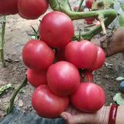 HL6-16番茄品种