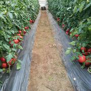 HL118番茄种子