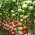 玉魄番茄种子
